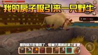 """迷你世界02: 建房子引来一只""""野牛"""", 吃牛肉还是收养它?"""