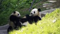 熊猫宝宝索要竹子, 被妈妈一脚蹬开后, 反应笑翻了