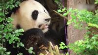 熊猫界的女装大佬, 曾误判性别安排跟别的男熊相亲, 果然是天生丽质