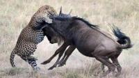 豹子猎杀角马, 这次角马没有怂, 镜头拍下豹子被顶飞的瞬间!