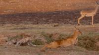 花豹抓住羚羊拖向深沟, 羚羊却爬了上来, 只有柯南才能破此悬案!