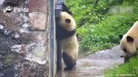 大熊猫宝宝惹恼妈妈, 被妈妈一路追打, 跑到门口敲门向奶妈求救