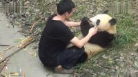 """奶爸拿一个苹果贿赂大熊猫, 然后就可以肆无忌惮地撸""""大猫""""了"""