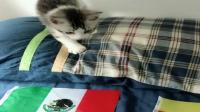 世界杯德国和墨西哥的比赛让猫咪选谁赢, 猫果断选德国
