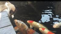 当喵星人遇上锦鲤, 从没见过这么大的鱼, 不知道怎么下嘴!