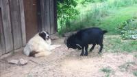 爆脾气的山羊碰到佛系性格的狗狗, 山羊只能自己撞门发火