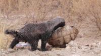 陆龟路边晒暖遭到平头哥蜜獾袭击, 陆龟: 我晒个太阳招谁惹谁了?