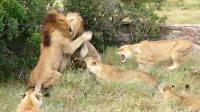 雄狮挑战狮王, 4头母狮参战被喝退, 狮王: 这是男人之间的战斗!
