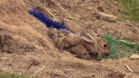 """漫山遍野都是兔子洞, 男子用他的""""小宠物""""半天抓了几十只"""