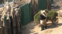 熊猫追鸟, 鸟飞走了, 熊猫站起来要去追赶