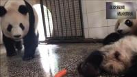 熊猫胖大海总偷吃妈妈的窝头, 但每次被妈妈抢回, 就只好这熊样了