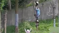 一个没抓下来, 另一个又爬上树了, 大熊猫的饲养员好累!