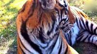 近距实拍漂亮老虎 一举一动都是霸气外漏, 森林之王名不虚传!