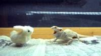拿一只玩具兔子跟蜥蜴玩, 蜥蜴怕的飞起! 哈哈哈