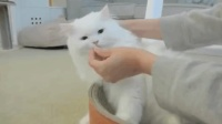 这只小胖猫不仅把同伴的药片吃了, 还想要吃它的毛, 真正的吃货!