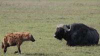 非洲鬣狗挑战大水牛, 一招制敌镜头拍下这精彩瞬间!