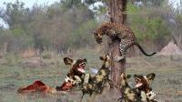 羚羊打架豹子偷袭后, 野狗围捕豹子, 真是一波未平一波又起!