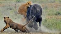 新一代牛王诞生, 3头狮子围捕依然全身而退, 就问你服不服!