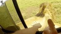 超兴奋!男子开车窗偷偷撸狮子