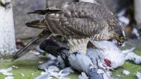 杀伤力最强的小猛禽 直接啄光猎物的毛 堪称猛禽界的王者家族