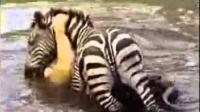 狮子捕猎斑马遇到硬茬, 被斑马按在水里差点淹死, 镜头拍下全过程!