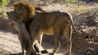 多行不义必自毙! 鬣狗抢夺母狮辛苦捕获的猎物, 这次狮群痛下杀手!