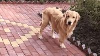 """金毛界的""""狗坚强"""", 三条腿的它独得主人恩宠!"""