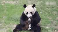 监控实拍: 大熊猫浦浦逮住一只偷吃窝窝头小鸟, 这奔跑速度绝对不慢
