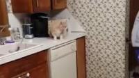 主人想去厨房拿点东西, 霸气喵星人一直守着, 就是不让拿