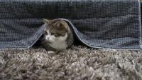萌翻了, 猫咪躲在被窝里和主人捉迷藏, 网友: 好想组团去偷猫