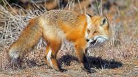 狐狸下山来找吃的, 被猫咪追的落荒而逃!