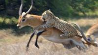 2只羚羊打的正欢, 小花豹趁机偷袭, 羚羊: 咋的, 你想拉偏架?