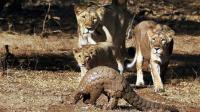 狮群偶遇穿山甲, 下一秒狮子刚开吃就懵了, 穿山甲: 硌牙不兄弟!