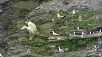 鸟儿把家安在峭壁上也躲不过熊出没的危险, 北极熊真是拼了