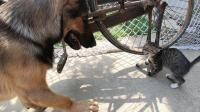 狗狗内心崩溃了, 两条狗居然也干不过猫! 狗: 这家伙怎么还会打拳