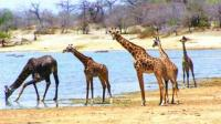 长颈鹿水边滑倒起不来, 狮子与鳄鱼纷纷想吃大餐, 不料意外出现了