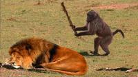 狮群追杀狒狒, 狒狒爬到树上放出大招, 直接就把狮子气的七窍生烟!