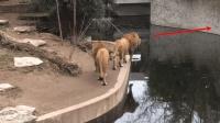 雄狮在河边散步, 突然发现一只母狮在对岸, 这结局真是意想不到!