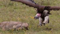 非洲最贪婪掠食者 专吃死尸 连狮子鬣狗也要让它三分