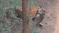 老虎猎杀豹子, 豹子毫无招架之力, 百兽之王果然威望霸气!