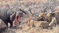 新一代河马王诞生, 单挑12头狮子气势碾压, 镜头拍下狮群悲催瞬间!