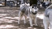 公园散步遇到同类, 哈士奇乐得像个疯子各种找茬