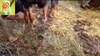 推土机把湿地的草丛全拉上岸, 村民们发现草堆下藏着全是蛇
