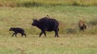 雄狮在草丛中化身刺客, 水牛母子并没有发现, 结果看的我都心碎了!
