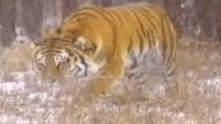 猎人进山遭遇老虎, 勇敢的狗狗葬身虎嘴, 主人这才得以保全!