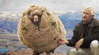 这羊为了躲避剪羊毛, 一逃就是六年, 结果凭借一身毛成了网红!