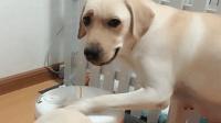 主人要把小狗放锅里, 狗妈妈赶紧盖住锅盖: 你想干什么?