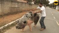 爆笑骑猪瞬间, 只要骑猪, 没有不摔的!