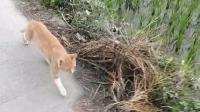 离开乡下返城, 老家的小橘猫就这样跟着主人走了很远很远