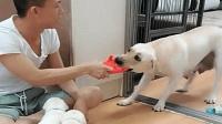 主人要教训小狗, 狗妈妈赶紧抢走拖鞋: 别打了, 它们还小!